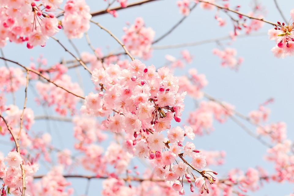 https://pixabay.com/photos/cherry-tree-flowering-tree-blooming-1225186/